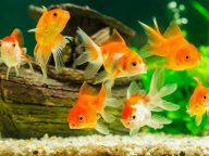 روش نگهداری ماهی قرمز عید