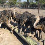 پرورش شتر مرغ در ایران