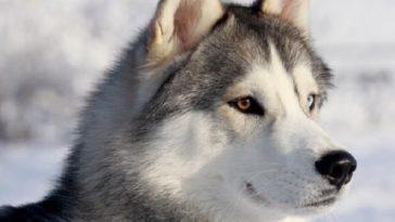 مشخصات ظاهری سگ هاسکی