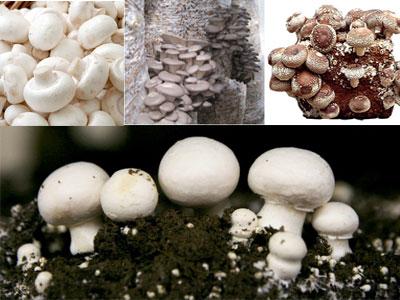 مراحل تولید پرورش قارچ در ایران