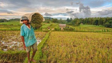 بزرگترین تولیدکننده برنج جهان کدام کشور است؟