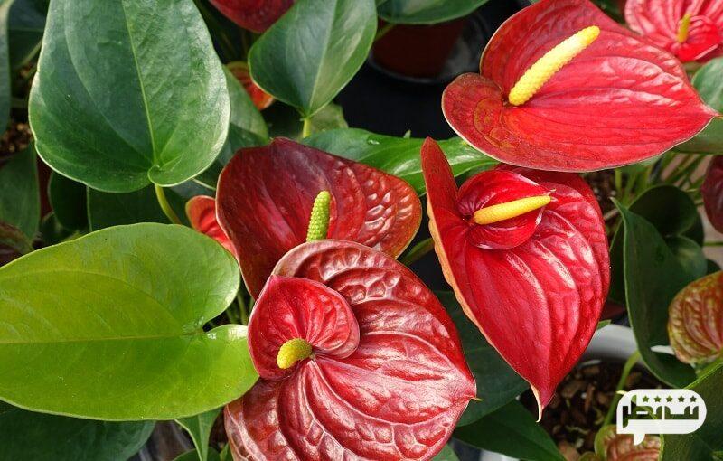 گلهای قلبی شکل آنتوریوم